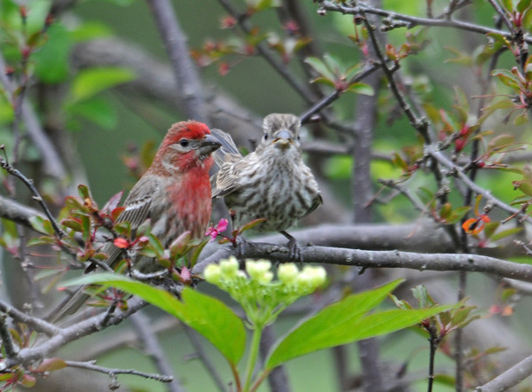 "<div class=""jaDesc""> <h4>Dad and Baby House Finch - May 29, 2014 </h4> <p> I heard an incessant cheeping outside.  When I went to investigate, I saw a male House Finch being followed by a hungry baby.  The dad flew to our crabapple tree with the baby in close pursuit.  In the foreground is a highbush cranberry bloom.</p> </div>"