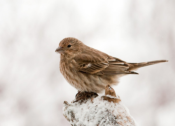 """<div class=""""jaDesc""""> <h4>Female House Finch on Snowy Perch - January 13, 2012 </h4> <p> The top of this broken branch is a favorite perch for the female House Finch.  She is waiting for a chance to grab a space on the feeder tray.</p> </div>"""