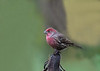 "<div class=""jaDesc""> <h4>Male House Finch Surveying Feeding Area  - December 14, 2017 </h4> <p>I left this one upside down sunflower seed head in the ground feeding area hoping one of the birds would land on it.</p> </div>"