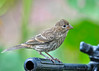 "<div class=""jaDesc""> <h4>Juvenile House Finch on Tripod - August 17, 2014 </h4> <p> I left one of my tripods outside.  One of our 2 juvenile House Finches thinks it makes a nice perch. </p> </div>"