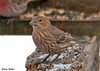"<div class=""jaDesc""> <h4>Female House Finch at Feeder Area - February 1, 2010 </h4> <p>This is the female of the House Finch pair that showed up recently.  They are now daily visitors.  They frequently feed side by side without any territory issues.</p> </div>"