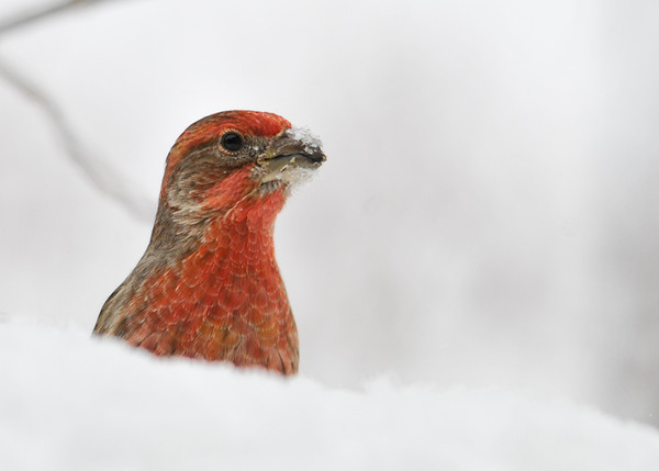 "<div class=""jaDesc""> <h4>House Finch Playing Peek-a-Boo in the Snow - December 27, 2012 </h4> <p> This male House Finch was feeding behind a mound of snow.  Every 10-15 seconds he would pop his head up to check on what I was doing.</p> </div>"