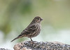 "<div class=""jaDesc""> <h4>Female House Finch at Seed Bar  - November 10, 2019</h4> <p>A repurposed shelf mushroom serves as a seed platter.</p> </div>"