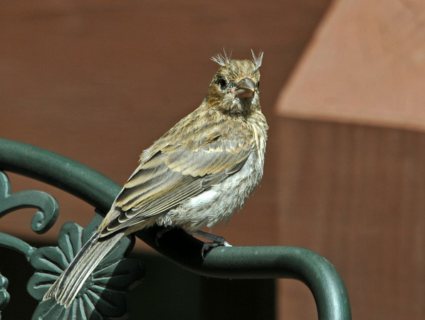 """<div class=""""jaDesc""""> <h4>Juvenile House Finch with """"Horn"""" Feathers - July 7, 2014 </h4> <p> When the juvenile House Finch turned to face me, he had a kind of Horned Lark look with his feathers sticking up on both sides of his head.</p> </div>"""