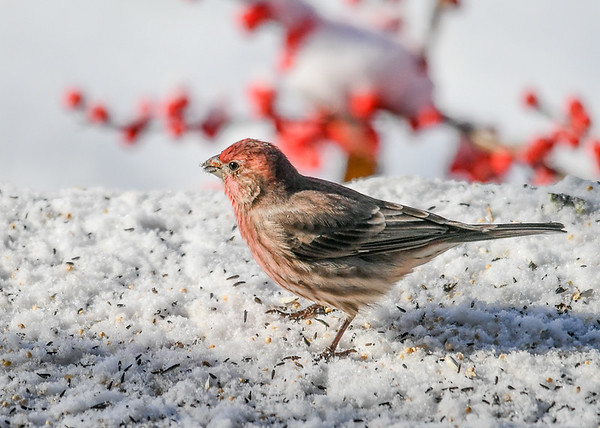 "<div class=""jaDesc""> <h4>Male House Finch in Snow  - November 10, 2019</h4> <p>An early November snowstorm surprised all the birds this year, but they took it in stride.</p> </div>"