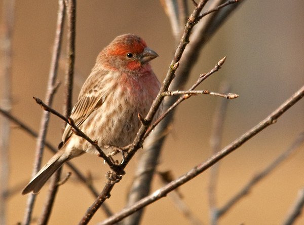 "<div class=""jaDesc""> <h4>Male House Finch - 1st of Year - March 5, 2012 </h4> <p> Our first male House Finch of the year arrived today.  The morning sunshine beautifully highlighted his markings.</p> </div>"