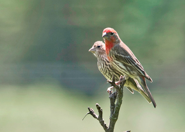 """<div class=""""jaDesc""""> <h4>Dad and Son House Finch - June 9, 2013 </h4> <p> We have 3 baby House Finches following their parents around begging to be fed.  Dad and son perched together briefly.</p> </div>"""