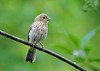 "<div class=""jaDesc""> <h4>Female House Finch on Cherry Tree Branch - June 8, 2016 </h4> <p>After the rain shower, I was able to get the female House Finch in our Cherry Tree.</p> </div>"