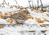 "<div class=""jaDesc""> <h4>Female House Finch in Flower Tray - January 18 2020</h4> <p></p> </div>"