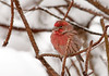 "<div class=""jaDesc""> <h4>Male House Finch Avoiding Frigid Wind - January 13, 2012 </h4> <p> It was snowing today with winds gusting to 40 MPH. This male House Finch was tucked deep in our Mugo Pine bushes along with many other birds to avoid the frigid wind. He would pop up periodically to grab a sunflower seed and then return to his sheltered perch.</p> </div>"