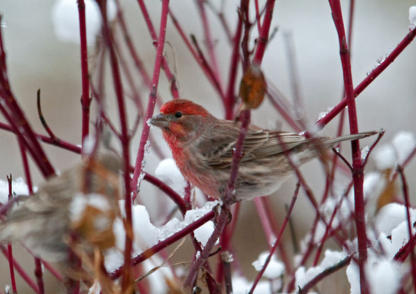 """<div class=""""jaDesc""""> <h4>House Finch Flock Arrives - December 9, 2011 </h4> <p>A flock of 20 House Finches landed in the top of the willow tree in our front yard this morning. I quickly went out and spread their favorite seed - a mix of thistle, sunflower chips and white millet. They immediately swarmed the feeders as soon as I came inside. This bird was the brightest of the males.</p> </div>"""
