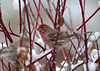 "<div class=""jaDesc""> <h4>House Finch Flock Arrives - December 9, 2011 </h4> <p>A flock of 20 House Finches landed in the top of the willow tree in our front yard this morning. I quickly went out and spread their favorite seed - a mix of thistle, sunflower chips and white millet. They immediately swarmed the feeders as soon as I came inside. This bird was the brightest of the males.</p> </div>"