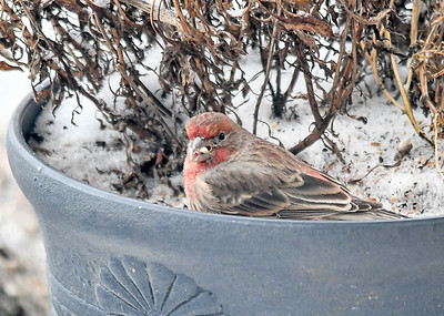 Immature Male House Finch in Flower Pot  - January 18 2020