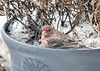 "<div class=""jaDesc""> <h4>Immature Male House Finch in Flower Pot  - January 18 2020</h4> <p></p> </div>"