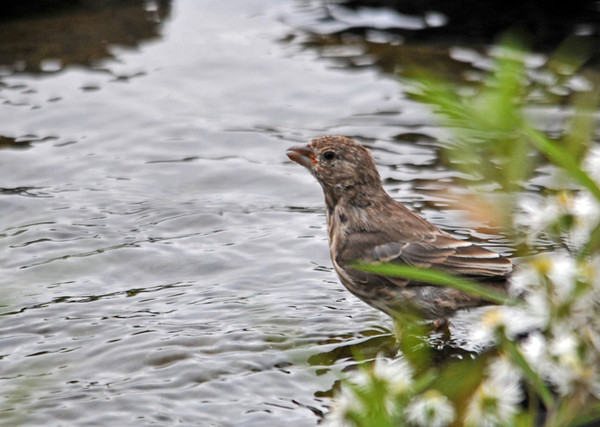 "<div class=""jaDesc""> <h4>Juvenile Female House Finch on Waterfall Stone - October 11, 2010 </h4> <p>This juvenile female House Finch hopped around the edge of the water garden pond looking for a place to get a drink.  when she got to the waterfall stone, she took several long drinks.</p> </div>"