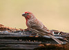 "<div class=""jaDesc""> <h4>Male House Finch - March 25, 2010 </h4> <p>This is a different male House Finch than the one that visited in February.  He has slightly different coloring.  I haven't seen a female with him yet.</p> </div>"