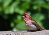 "<div class=""jaDesc""> <h4>Punk Purple Finch #1- July 5, 2016</h4> <p>This is one of two juvenile male Purple Finches who has just finished taking a bath before breakfast.  The crest and throat area still have a wet look.</p></div>"