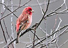 "<div class=""jaDesc""> <h4> Male Purple Finch in Budding Crabapple Tree - April 18, 2014</h4> <p>4 Purple Finches have arrived.  This adult male is the brightest.</p> </div>"