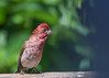 "<div class=""jaDesc""> <h4>Punk Purple Finch #2 - July 5, 2016</h4> <p>This is the second of two juvenile male Purple Finches who has just finished taking a bath before breakfast.  He was a bit taller and leaner looking with a still wet crest as well.</p></div>"