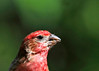 """<div class=""""jaDesc""""> <h4> Male Purple Finch Munching on Sunflower Seeds - June 20 2014 </h4> <p> This Purple Finch was enjoying his breakfast of sunflower seeds in the early  morning  sun.</p> </div>"""