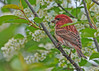 "<div class=""jaDesc""> <h4> Male Purple Finch in Blooming Cherry Tree - May 21, 2014</h4> <p>This is the best time of year to have the birds perching in our wild cherry tree.  The male Purple Finch makes for a nice ornament.</p> </div>"