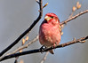 "<div class=""jaDesc""> <h4> Male Purple Finch in Morning Sunlight - April 20, 2014</h4> <p>Got this guy again in better morning light today, and with a front view showing off his beautiful ""raspberry"" breast.</p> </div>"