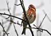"""<div class=""""jaDesc""""> <h4> Immature Male Purple Finch - April 18, 2014</h4> <p>Immature male Purple Finch plumage is half way in between that of a male and female.  He should have his full adult plumage later this summer.</p> </div>"""
