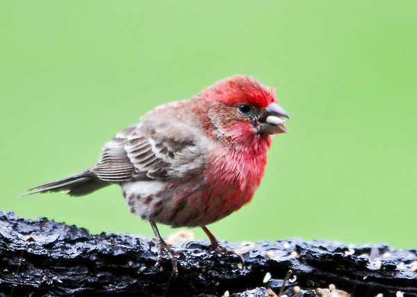 """<div class=""""jaDesc""""> <h4> Male Purple Finch Eating Safflower Seed - May 6, 2014</h4> <p>Normally the Purple Finches eat the White Millet seed, but today this guy was dining on Safflower seeds.</p> </div>"""