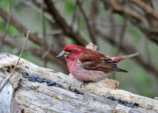 """<div class=""""jaDesc""""> <h4>Male Purple Finch Having Breakfast - April 25, 2016</h4> <p>We now have 2 males and 2 females.  This male is in his brightest plumage of the year.</p></div>"""