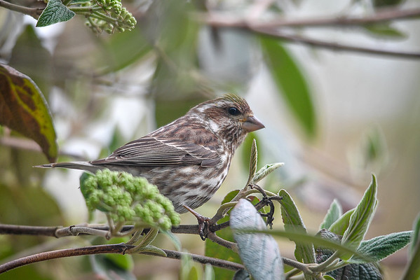 """<div class=""""jaDesc""""> <h4>Female Purple Finch Hiding in Viburnum Bush  - April 20, 2017</h4> <p>Our dense Viburnum Bush provides good cover for the small song birds.  This female Purple Finch's feathers have a dull grayish brown look when she is in the shade.</p></div>"""