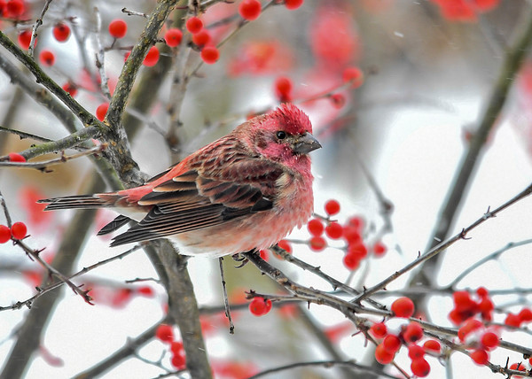 """<div class=""""jaDesc""""> <h4>Male Purple Finch in Winterberry Bush - December 28, 2017</h4> <p>This lone male Purple Finch arrived two days ago during the cold snowy weather.  No female with him which is unusual.</p></div>"""