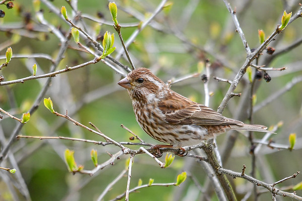 """<div class=""""jaDesc""""> <h4>Female Purple Finch in Winterberry Bush  - April 20, 2017</h4> <p>We now have 2 pairs of Purple Finches.  This female's feathers have a rich brown look when she is in the full sunlight.</p></div>"""