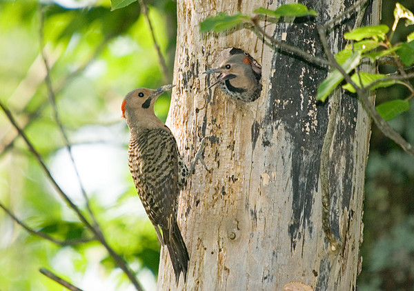 """<div class=""""jaDesc""""> <h4>Dad Flicker Arrives at Nest - June 27, 2008 </h4> <p>Dad flicker (with chin mustache) is visiting the nest to feed a female chick, 3 days before the 2 chicks left the nest.</p> </div>"""