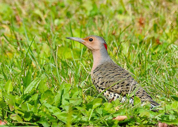 """<div class=""""jaDesc""""> <h4> Female Flicker Ground Feeding - October 1, 2013 - Video Attached</h4> <p> This female Flicker was perched in a tree next to a Mourning Dove and quickly flew to the ground behind a bush.  I patiently waited for her to come out into the open as she busily pecked the ground for bugs. </p> </div> </br> <center> <a href=""""http://www.youtube.com/watch?v=7ZJo4uUMe0M"""" class=""""lightbox""""><img src=""""http://d577165.u292.s-gohost.net/images/stories/video_thumb.jpg"""" alt=""""""""/></a> </center>"""