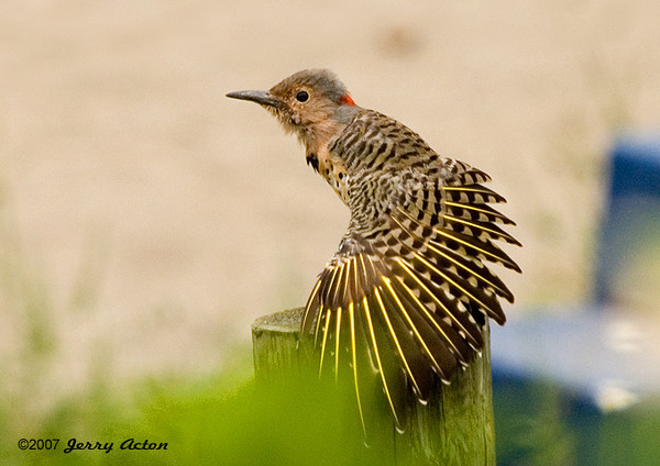 """<div class=""""jaDesc""""> <h4> Juvenile Female Flicker Grooming - September 5, 2007</h4> <p> This juvenile Flicker spent about 5 minutes grooming while perched on one of our backyard fence posts.  Here she is air drying one of her wings.  She had taken a bath in our water garden.</p> </div>"""