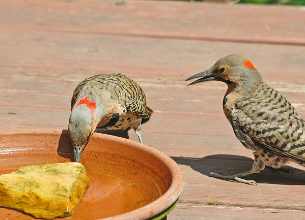 "<div class=""jaDesc""> <h4>Male Juvenile Flicker - Drinking Lesson - July 8, 2014 </h4> <p>The juvenile Flicker looks on intently as dad Flicker demonstrates how to get a drink from the water bowl.</p> </div>"