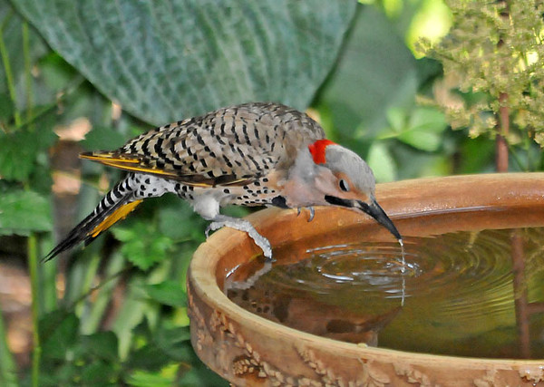 "<div class=""jaDesc""> <h4>Flicker Getting Drink at Bird Bath - June 22, 2010 </h4> <p>A pair of Flickers had been moving around among the tree trunks in my brother-in-law's wooded backyard. It was a hot day, so this male Flicker decided to stop and get a drink at one of the bird baths. He would fill his beak, then throw his head way back to swallow the water.</p> </div>"