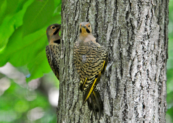 """<div class=""""jaDesc""""> <h4>Dad and Son Flicker Fly Into Yard - July 8, 2014 </h4> <p>The juvenile male Flicker to the left  and his Dad landed on a large tree in my  brother-in-law's backyard.  Dad was looking at the pan of water on the back deck.</p> </div>"""