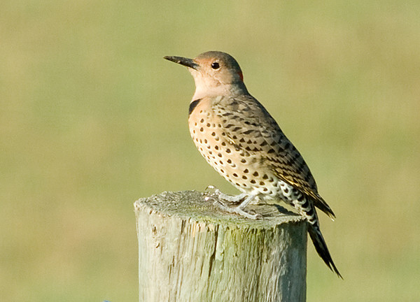 "<div class=""jaDesc""> <h4>Female Flicker - September 23, 2008 </h4> <p>Here is a shot of the female flicker.  Notice she does not have the black chin bars like the male below.</p> </div>"