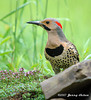 "<div class=""jaDesc""> <h4>Male Flicker in Creeping Thyme - June 2006 </h4> <p> I followed this male flicker all around our yard until he finally stayed put in a patch of creeping thyme by our water garden.</p> </div>"