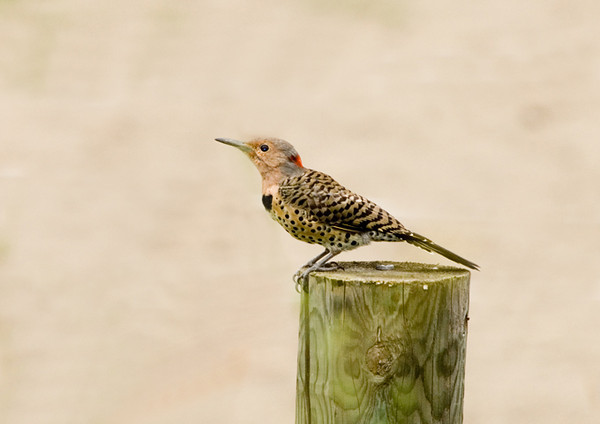 "<div class=""jaDesc""> <h4> Juvenile Female Flicker - September 2, 2007</h4> <p> This is the time of year when I start watching for the juvenile Flickers to wander into the yard.  This juvenile female Flicker ventured in on her own.  She does not have the black chin bar that the male has.</p> </div>"