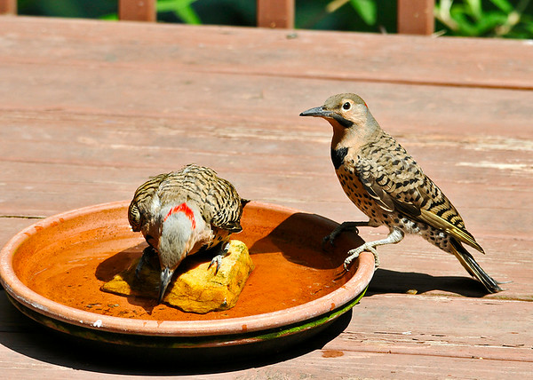 "<div class=""jaDesc""> <h4> Dad Flicker Ready for a Bath - July 8, 2014 - Video Attached</h4> <p> The adult male Flicker kept staring at the water in the bowl.  Finally he decided it was deep enough to take a bath.  The juvenile male stayed on the edge of the bowl the entire time.</p>  </div> <center> <a href=""http://www.youtube.com/watch?v=5cAIDDlVCEk"" style=""color: #0AC216"" class=""lightbox""><strong> Play Video</strong></a> </center>"
