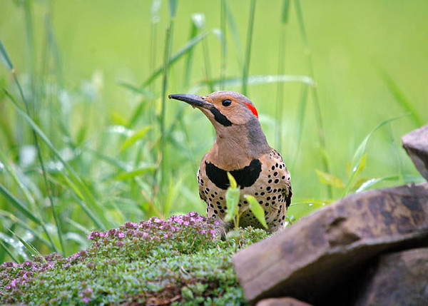 """<div class=""""jaDesc""""> <h4>Flicker Ground Feeding - June 2006 </h4> <p>There are at least 2 different pairs of Flickers building nests in the woods around our property.  They always make a loud cackling call similar to a Pileated Woodpecker when they are sorting out territory and building their nests in tree cavities.</p> </div>"""