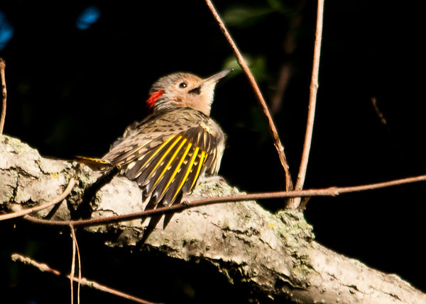 """<div class=""""jaDesc""""> <h4>Juvenile Flicker Grooming - September 9, 2012 </h4> <p>The juvenile male Flicker found a nice sunny spot on a branch high up in a tree to do some early morning grooming.  The black chin spot indicates that he is a male.</p> </div>"""