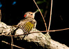 "<div class=""jaDesc""> <h4>Juvenile Flicker Grooming - September 9, 2012 </h4> <p>The juvenile male Flicker found a nice sunny spot on a branch high up in a tree to do some early morning grooming.  The black chin spot indicates that he is a male.</p> </div>"