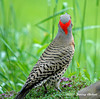"<div class=""jaDesc""> <h4>Male Flicker Back View - June 2006 </h4> <p> This was the first time I had ever seen the back of the flicker's head up close with the very distinctive red pattern.</p> </div>"
