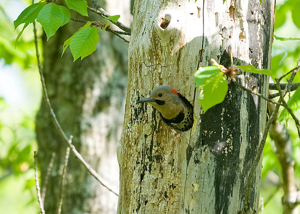 """<div class=""""jaDesc""""> <h4>Male Flicker in Nest Hole - June 2, 2008 </h4> <p>The male Flicker is guarding the nest until mom returns with some food for the chicks.</p> </div>"""