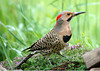 "<div class=""jaDesc""> <h4>Male Flicker Digging - June 2006 </h4> <p>The male flicker spent quite awhile digging up grubs in the patch of creeping thyme. He seemed to know I was only about 20 feet away.</p> </div>"