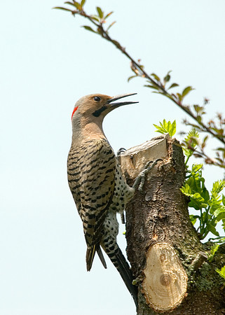 "<div class=""jaDesc""> <h4>Male Flicker on Locust Stump - June 7, 2008 </h4> <p>The Flickers do not come into our backyard very often, they normally stay along the woods edge.  This year the male has been visiting regularly. </p> </div>"