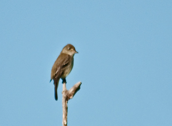 """<div class=""""jaDesc""""> <h4> Alder Flycatcher in Treetop - May 2012</h4> <p> I visited a neighbor's property over the weekend looking for warblers.  A surprise bird was this Alder Flycatcher who was calling from a thicket.  Then he flew to the very top of a dead tree and continued calling.  (very long distance shot)</p> </div>"""